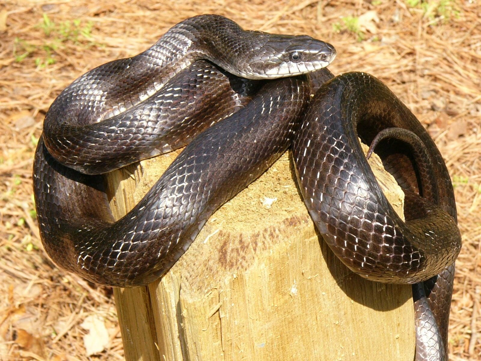 Known for its climbing ability, the harmless black rat snake is notorious for accidentally crawling inside people's home. (Photo/John Jensen, Georgia DNR)